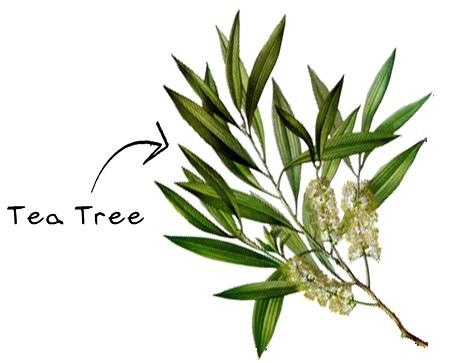 Tea Tree eso-ing